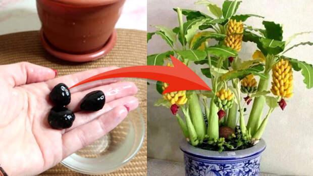 Как вырастить банан дома