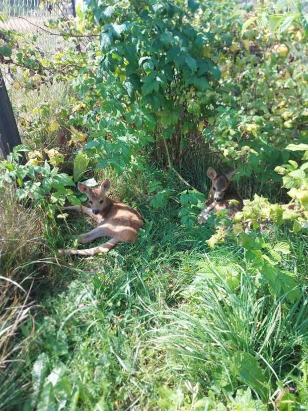 Раненая косуля, спасенная в Воротынском районе, переехала в «Серую лошадь»
