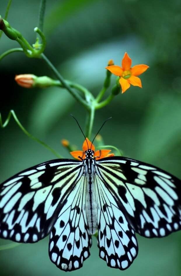 Гусеницы «малого монарха» (Danaus cbrysippus) питаются соком трав, выделяющих токсические вещества. Позже появившаяся из куколки бабочка - ядовита, птица, проглотившая такую бабочку, может умереть. бабочки, интересное, красота, насекомые