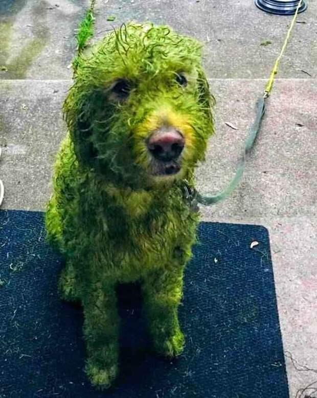 Хозяин выпустил гулять милого пса, а назад вернулось зеленое чудовище