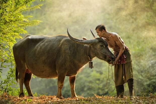 В Таиланде за вакцинацию жители могут получить золото или корову