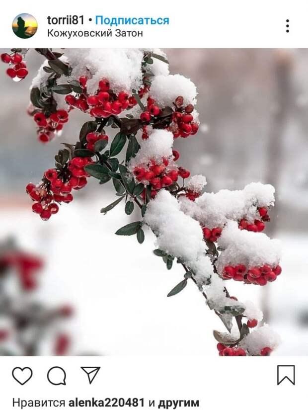 Фото дня: алые гроздья в белом снегу