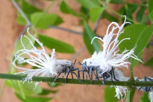 Цикада Phromnia rosea (лат. Phromnia rosea) (англ. Flatid Leaf Bug)