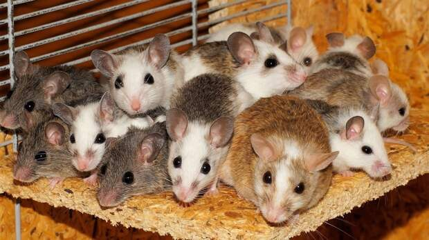 Ученые из США создали беспроводной мозговой имплант для контроля поведения животных