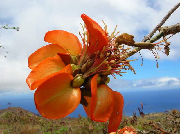 Коралловое дерево комнатное растение
