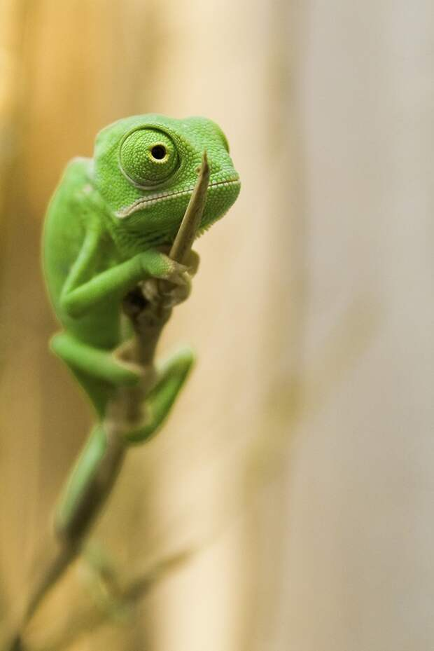 cute-baby-chameleons-5834a14770a2c__700