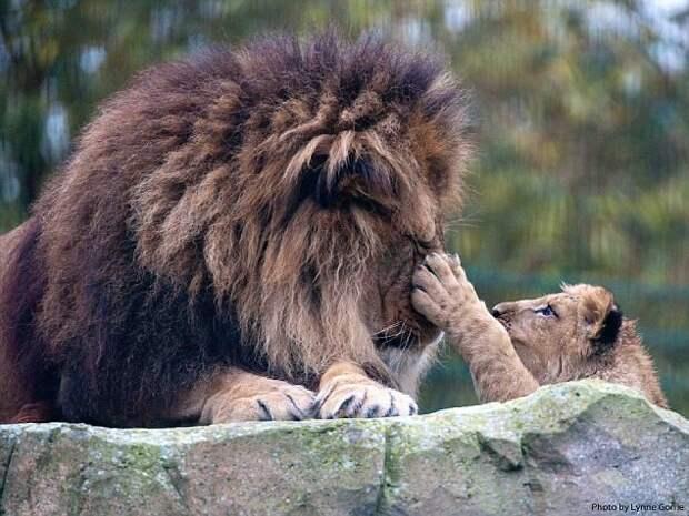Папа-лев самостоятельно вырастил оставшегося без мамы львенка