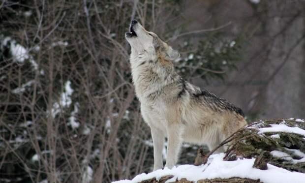 ВАрхангельской области начались выплаты охотникам задобытых всезоне 2020/2021 волков