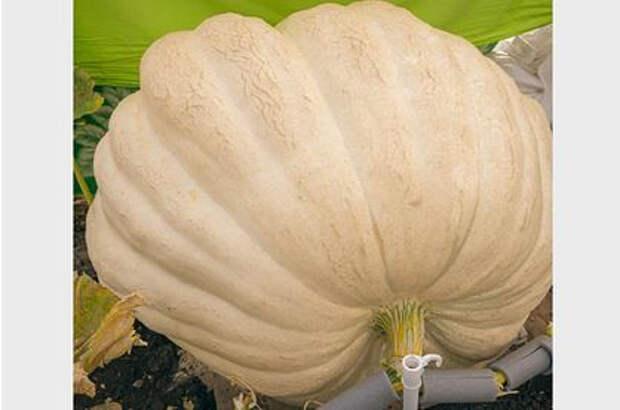 В России вырастили тыкву весом 420 килограммов и раздали ее всем желающим