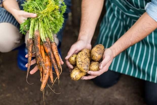 Что посадить на месте выкопанного раннего картофеля