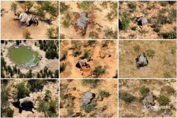 Разобрались с массовым мором слонов в Африке