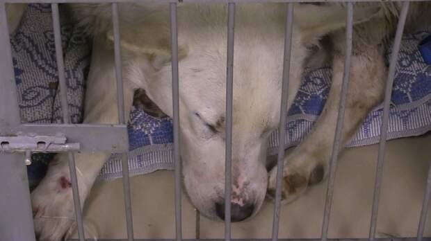 Зоозащитники спасли собаку, заколотую вилами в Ленобласти