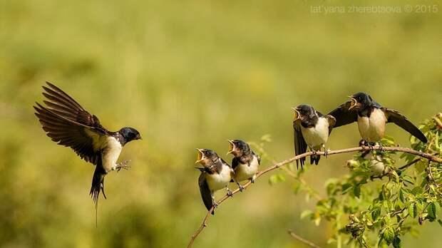 Кормление ласточек. Красивые фотографии красивой птицы.