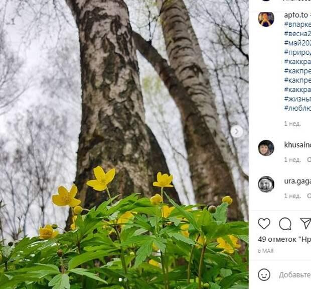 В Лианозовском парке цветет ветреница