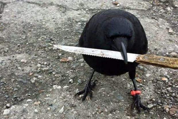 Опасная ворона.