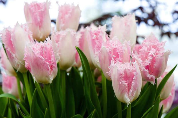 Бахромчатый тюльпан Хьюс Тен Бош (Huis Ten Bosch)