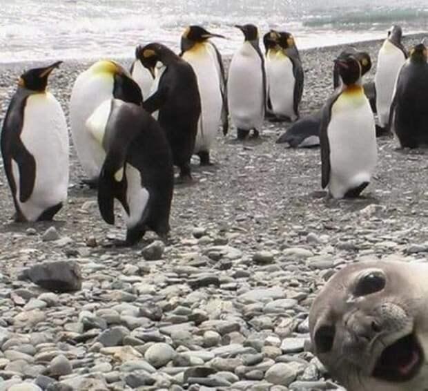 Пингвины, я здесь! в кадре, главные герои, животные, забавно, смешно, фото, юмор