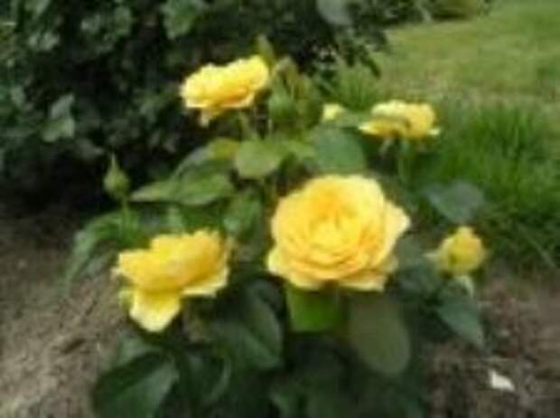 Флорибунда  Victoria Pendleton (Виктория Пендлетон) с повторным  обильным цветением.  Источник: https://www.forumhouse.ru