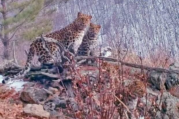Сразу пять редких животных запечатлел турист в нацпарке «Земля леопарда»