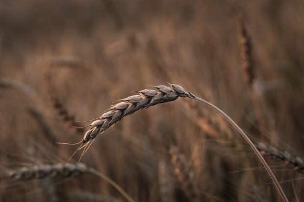488 тысяч тонн зерна собрали на полях Удмуртии