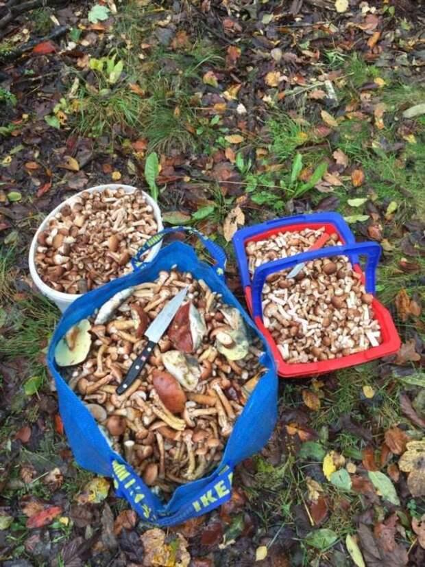 Осенние опята (2 фото)