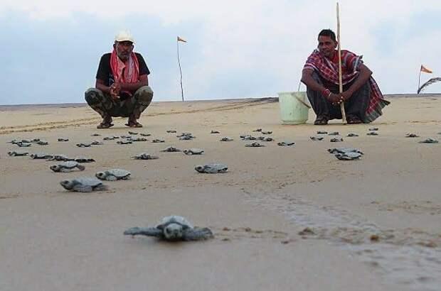 Тысячи морских черепах выбрались на пустые пляжи, чтобы сделать гнезда и отложить яйца
