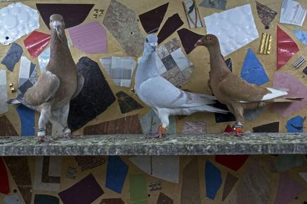 Птица-навигатор: 7 историй о голубиной почте