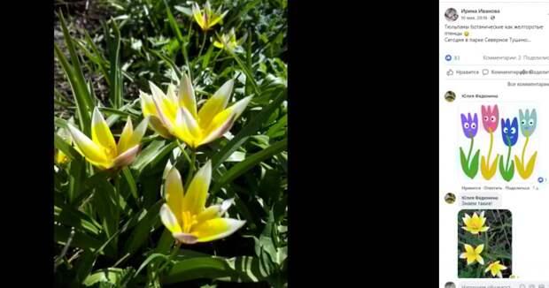 Необычные тюльпаны распустились в парке в Северном Тушине
