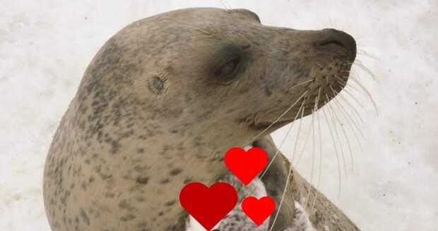 На морде серьезного тюленя появляется улыбка, когда к нему в лапы попадает ЭТО… :)
