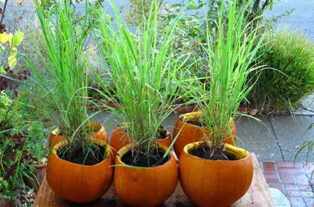 Как вырастить лемонграсс дома или на даче
