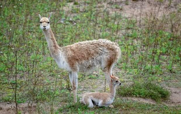 В Московском зоопарке родился детеныш краснокнижной викуньи