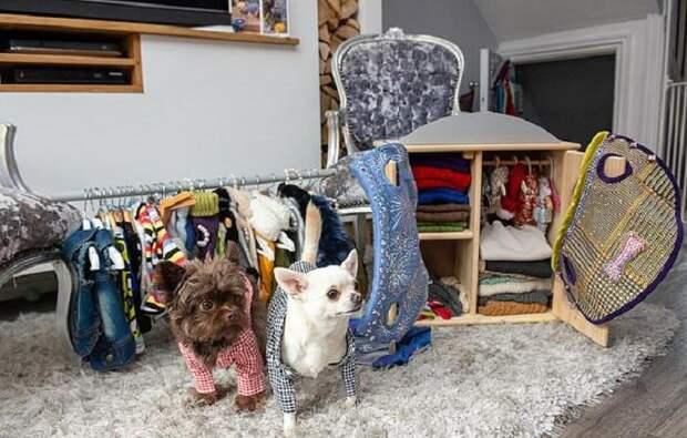 Хозяйка избалованных чихуахуа потратила надизайнерские наряды для собак целое состояние