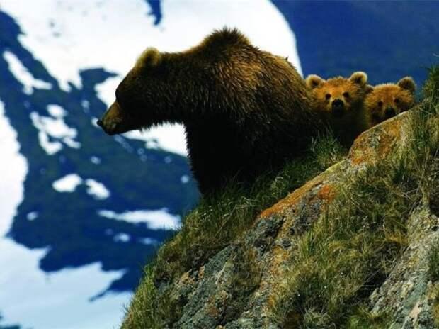 Медвежье семейство жизнь, интересные, фото