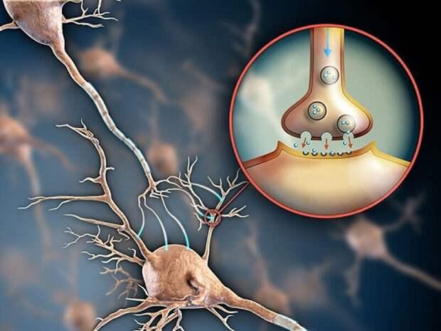 Гормон счастья: 95% серотонина находится в кишечнике