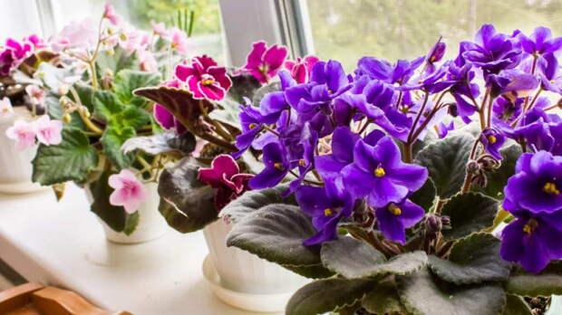 Самые красивые фиалки: популярные сорта комнатного цветка
