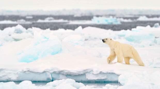 Почему белый медведь белый?