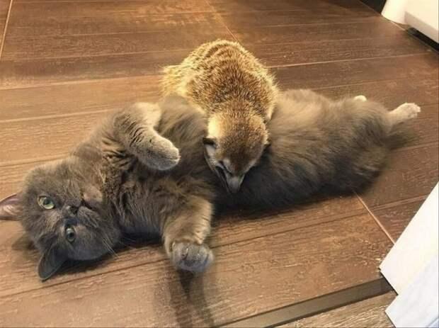 Сурикат решил, что кот – это его питомец и не подпускал к нему хозяйку