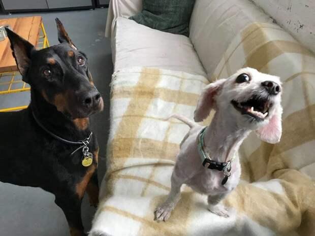 """Самое главное - ей нужна была """"дружеская терапия"""". Тут на помощь пришел пес Миллер, который помог Холланд вновь почувствовать себя собакой до и после, помощь бездомным животным, помощь животным, приют для животных, собака, собака - улыбака, стрижка собак, шерсть"""