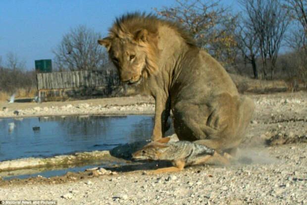 Чепрачный шакал: Старшие хищники его не уважают, но он таки добился успеха в суровой Африке