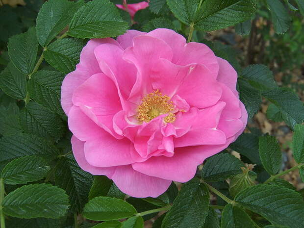 Видовые розы выручат даже новичков, мечтающих о розарии