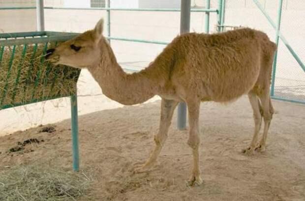 5 животных-гибридов, о существовании которых вы не подозревали