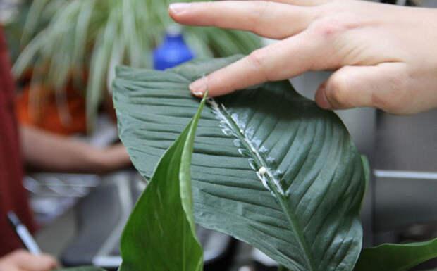 2. Как придать блеск листьям горшочных цветов советы, способы использования