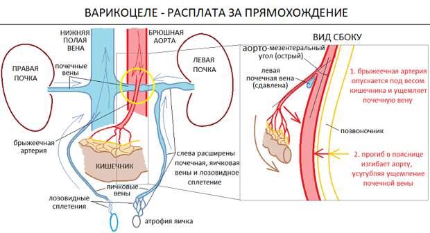 Почему мошонка холоднее тела и как прямохождение стало причиной мужского бесплодия