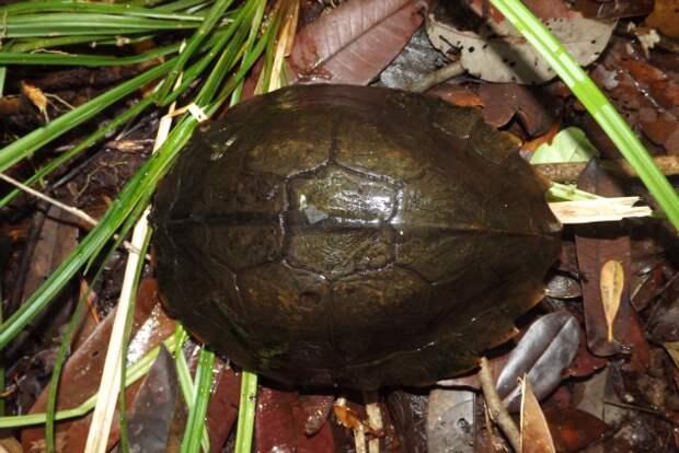 Колючая черепаха: Бритвенно острые сюрикены. Зачем рептилиям лезвия на панцире? (7 фото)