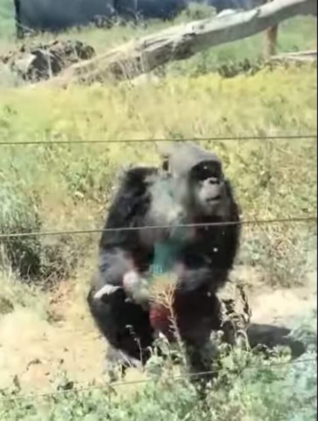 Шимпанзе приколист. Что он сделал…