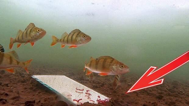 Реакция рыбы на ЗЕРКАЛО! (Часть 2) Окунь, рак, астронотус. Подводная съемка