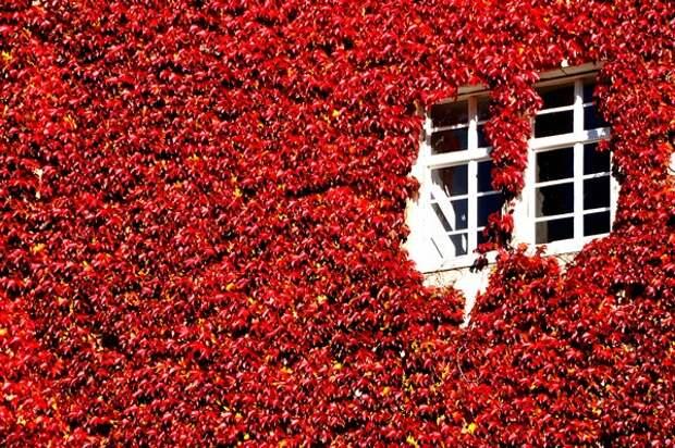 Девичий виноград для украшения фасада