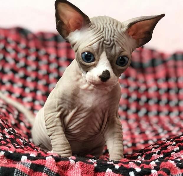 Котята-сфинксы - очаровательные монстрики! домашние любимцы, животные, котята, кошки, красота, мило, очаровательно, сфинксы