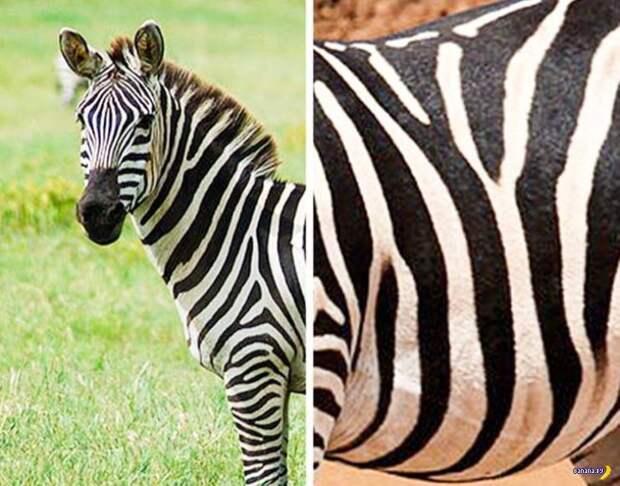 Полосы на зебре отпугивают насекомых