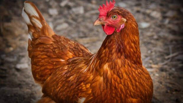 Спасите Рябу: жительница Новосибирской области устроила скандал ветеринару за отказ лечить курицу